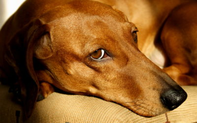 Como diminuir a tensão de cães  e gatos com os fogos de artifício