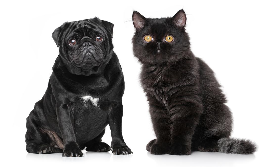 Cães e gatos de focinho curto demandam atenção redobrada