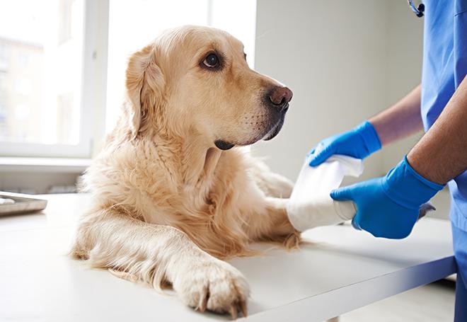 Cirurgia veterinária: os cuidados pré e pós-operatórios para o seu pet