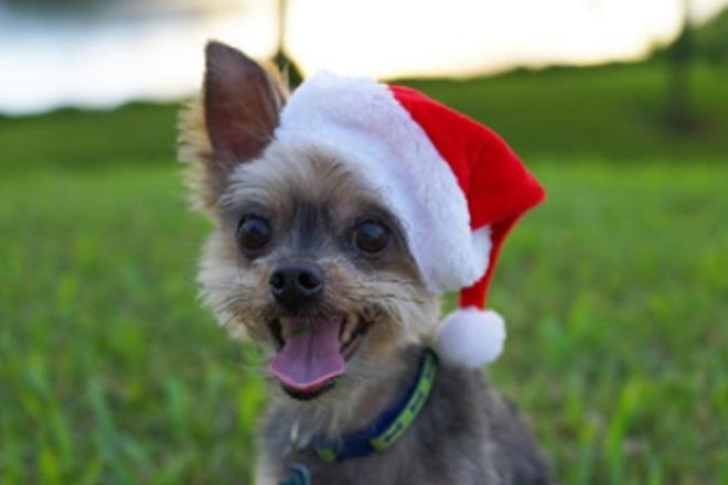 16 cachorros que estão mais ansiosos pelo Natal do que você!