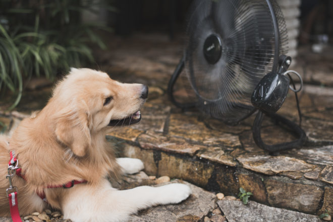 golden retriever with blurry background fan cooling. heat stroke concept.