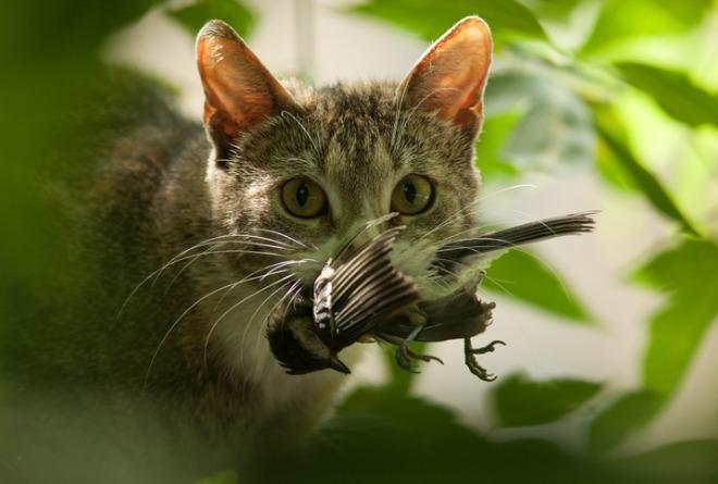gato-caçando