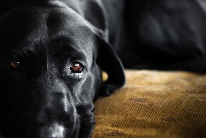 O que é e como tratar a parvovirose em cães?