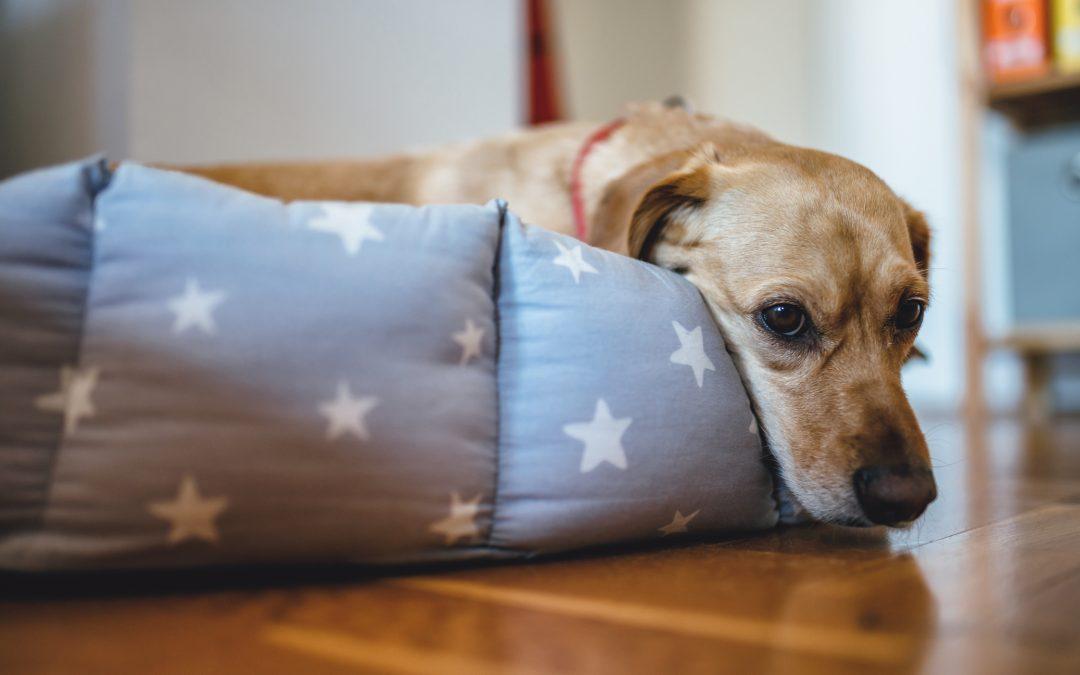 Gastroenterite em pets: como diagnosticar e tratar?