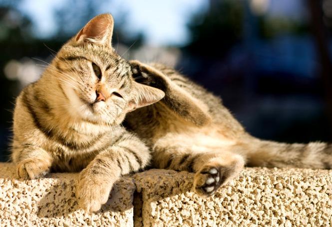 Pulgas em gatos: como tratar?