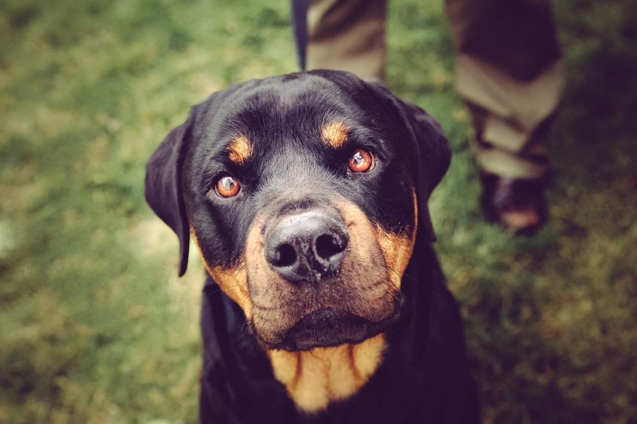 A Rottweiler dog portrait. Dog is closeup and staring intently at you, straight into the camera lens. Image taken outdoors on a grass lawn. Leash and a person's legs are visible and blurred in the background. High resolution color photograph. Horizontal composition.