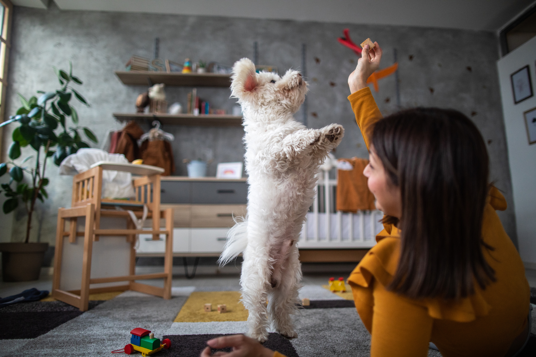 Young woman playing with fluffy pet at home, dog jumping and trying to catch the toy