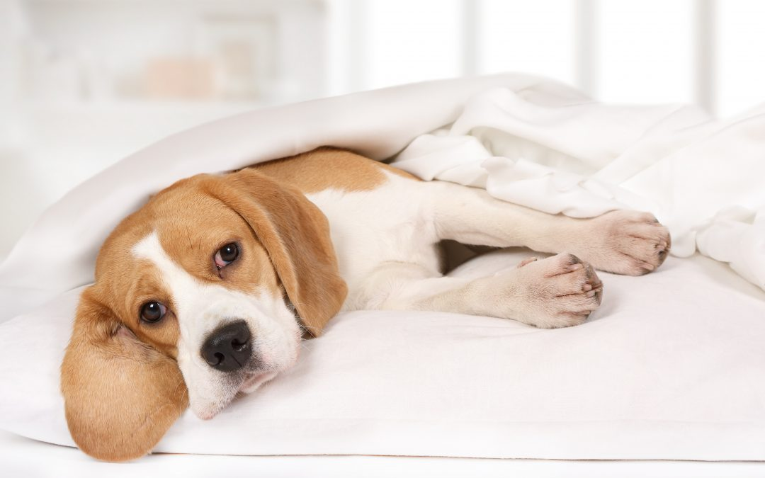 Verme do coração: entenda o que é a dirofilariose canina