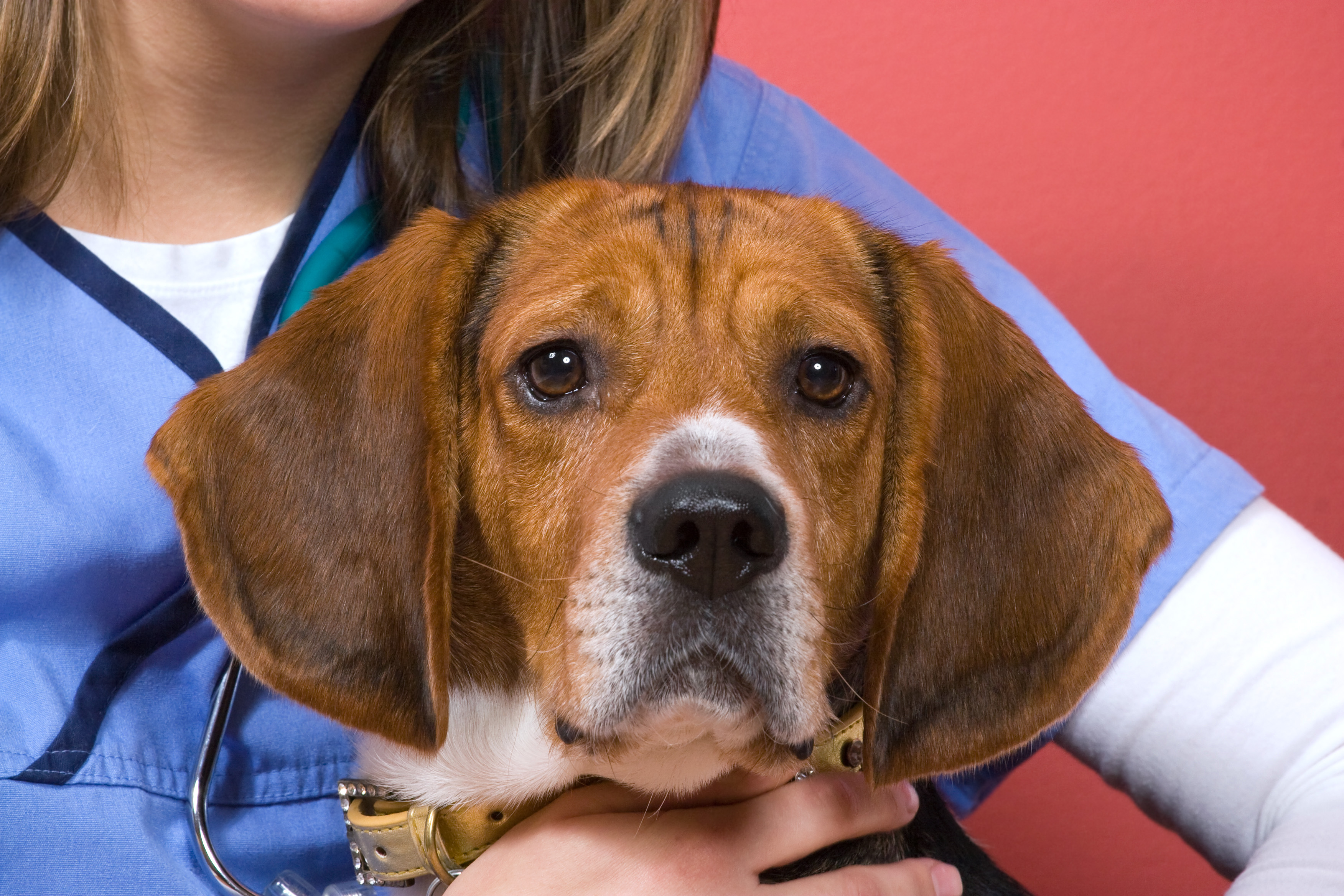 Veterinarian With a Beagle
